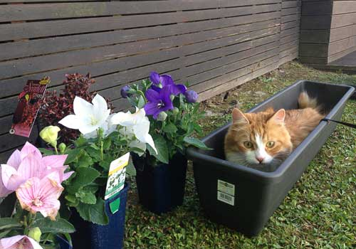 Siberian cat in garden