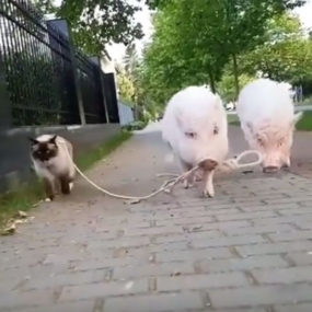 Cat and pigs on a leash