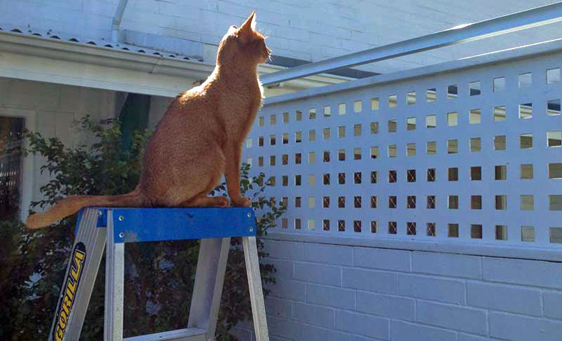 cat on ladder looking over fence