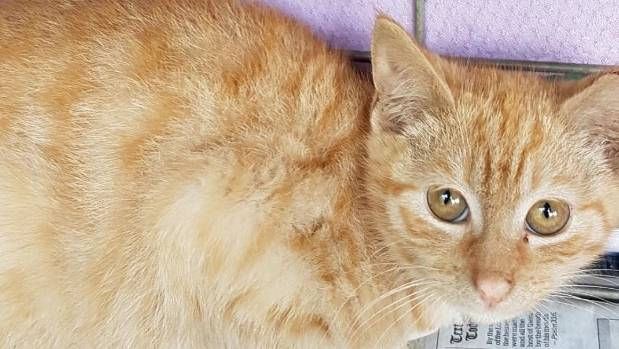 Ginge the kitten had his leg chopped off while roaming Parnell.
