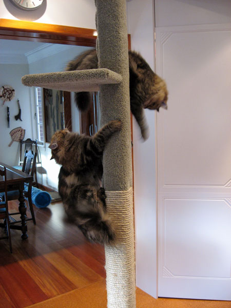 A blur of cat motion a moment after Felix and Cici get their first glimpse of a new 2m tall Super Scratcher Deluxe climbing post