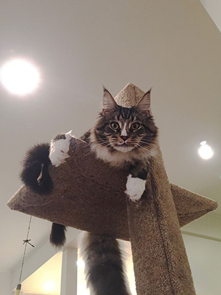 Maine Coon Nacho on his Mega Scratcher Deluxe Climbing Post