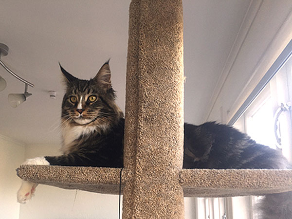 Nacho, a beautiful Maine Coon, relaxes on the upper platform of his new Mega 1 Climbing Post.