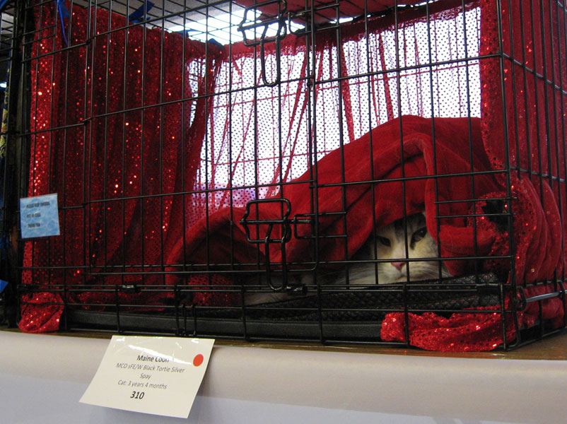 Showing Oscillot at Auckland Cat Club Show