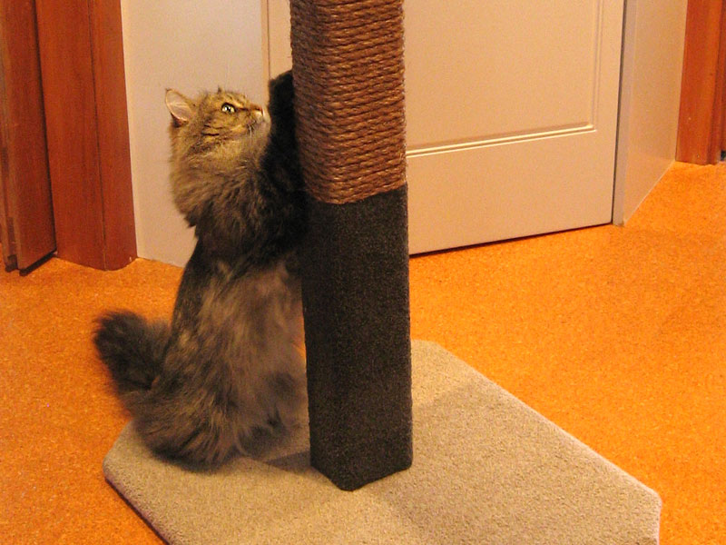 Felix gets ready to climb the first of our 1.5m Compact Scratcher posts.