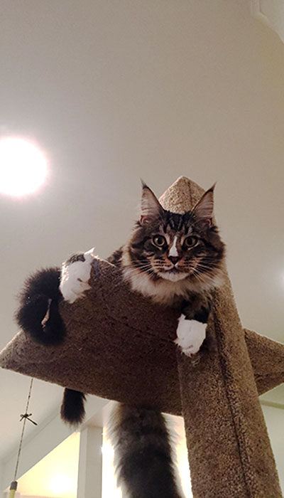 Maine Coon cat Natcho on a Mega-1 cat climbing post