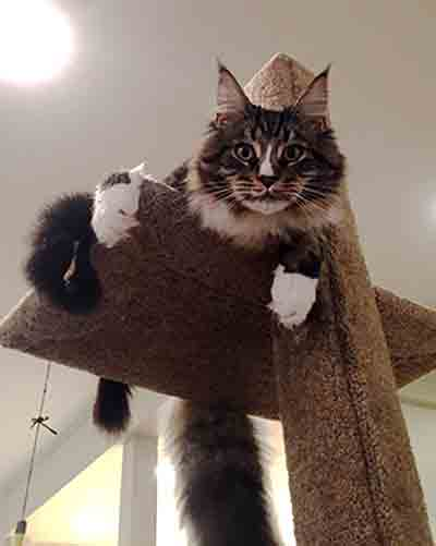 Maine coon cat Nacho on a Mega-1 cat climbing post