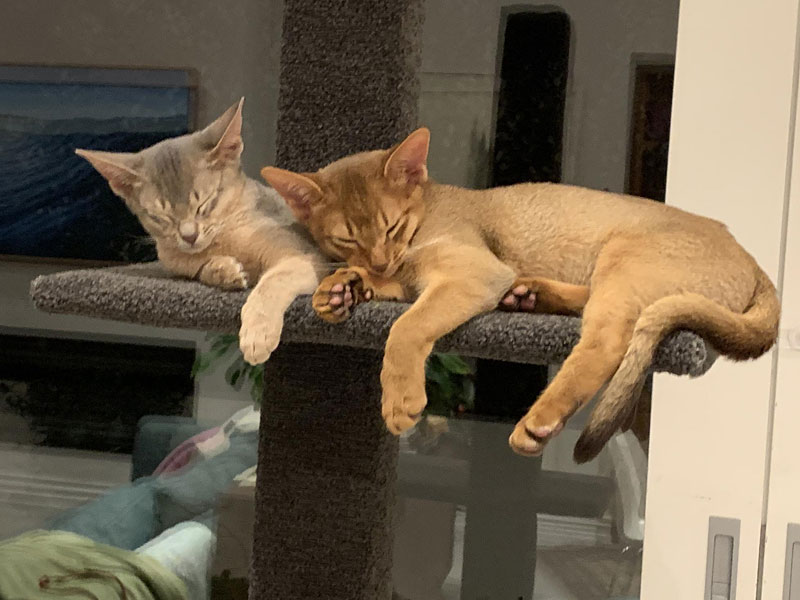 Abyssinian kittens on Super-2 climbing post