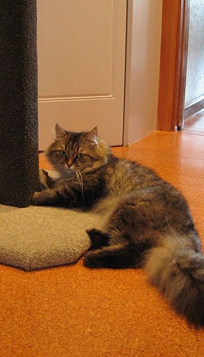 1.2m Basic cat climbing post with Siberian cat Felix