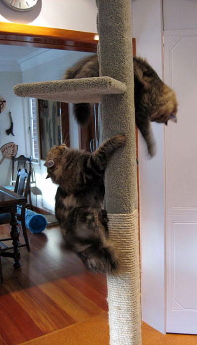 2 cats playing chase on a SUPER-1 cat climbing post